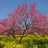 菊桃の花まつり