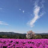 芝桜とネモフィラの丘2019